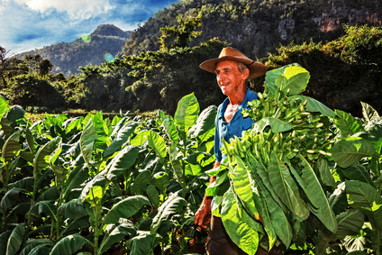 Cuba, Viales, Farmer Harvesting Tobacco